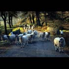 Sheep in the Goyt Valley